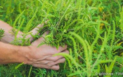 Ambrosia im Garten entdeckt – was ist zu tun?