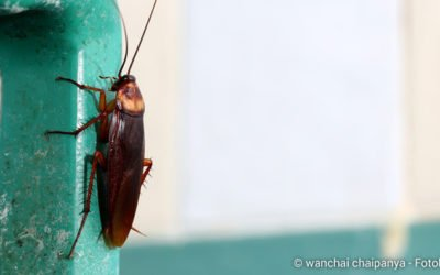 Kakerlaken gezielt bekämpfen