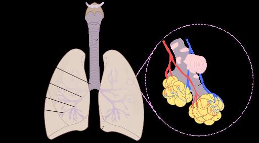 Aufbau der Menschlichen Lunge: 1: Luftröhre 2: Lungenvene 3: Lungenarterie 4: Alveolargang 5: Alveole 6: Herzeinschnitt 7: kleine Bronchien 8: Tertiärbronchus 9: Sekundärbronchus 10: Hauptbronchus 11: Zungenbein (Quelle: Wikimedia, Image:Illu bronchi lungs.jpg, Rastrojo)